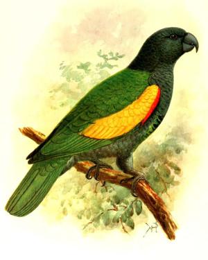Amazoňan guadeloupský