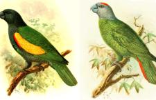 Znáte dva vyhynulé druhy amazoňanů z karibských ostrovů Martinique a Guadeloupe?