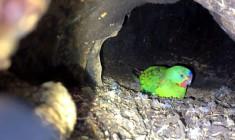 Latamům vlaštovčím hrozí, že do 16 let ve volné přírodě zcela vyhynou