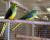 Přehled ptačích burz a výstav pro víkend 6. až 8. prosince 2019