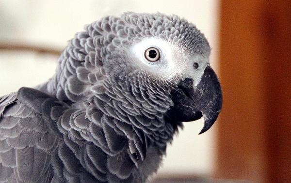 """Žakové jsou nejpopulárnějším velkým druhem papoušků na ochočení, ale ne s každým majitelem si """"sednou"""" (Foto: Jan Potůček, Ararauna.cz)"""