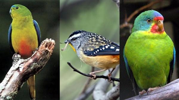Nevídaný úspěch sbírky na záchranu latamů a neofém na Tasmánii: přes milion korun za tři dny