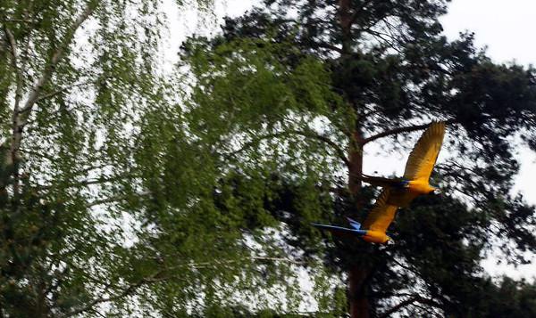 """Naše ararauny Bára a Endy na """"výletě"""", právě přilétají k voliérám Tomáše Koukoly (Foto: archiv Tomáše Koukoly)"""