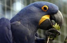 Ústecká zoo musela stáhnout ary hyacintové z veřejné expozice, narušili pletivo voliéry