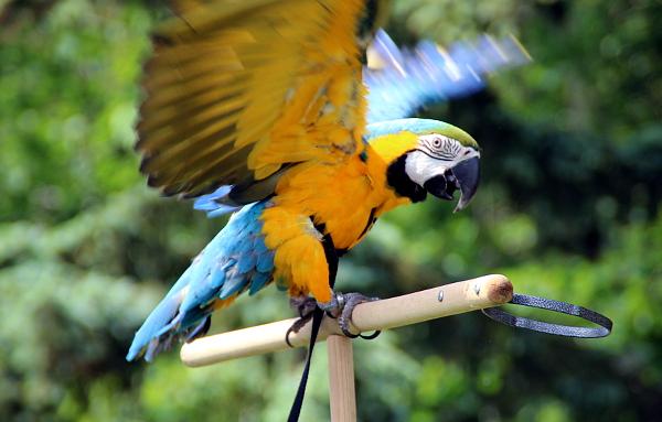 Tento papoušek je zatím ve výcviku, proto má kšíry (Foto: Jan Potůček, Ararauna.cz)