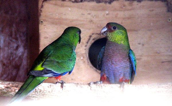 Pár papoušků červenočapkových, nejnovější přírůstek v chovu Filipa Fojtíka (Foto: Jan Potůček, Ararauna.cz)