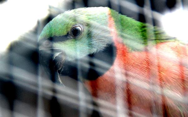 Alexandr růžový vousatý. Chovný pár těchto papoušků sousedí s voliérou alexandrů rudohlavých. (Foto: Jan Potůček, Ararauna.cz)