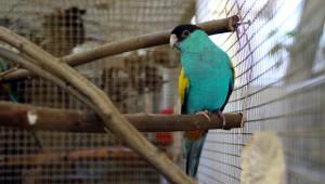 Papoušek žlutoramenný