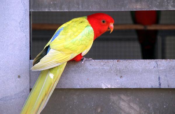Papoušek královský žluté mutace (Foto: Jan Potůček, Ararauna.cz)