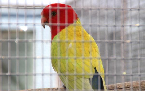 Samec žluté mutace papouška královského (Foto: Jan Potůček, Ararauna.cz)