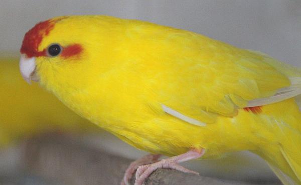 Žlutá mutace kakariki rudočelého. Chovný pár Rudolf Strnad často používá jako chůvy pro další papoušky. (Foto: Jan Potůček, Ararauna.cz)