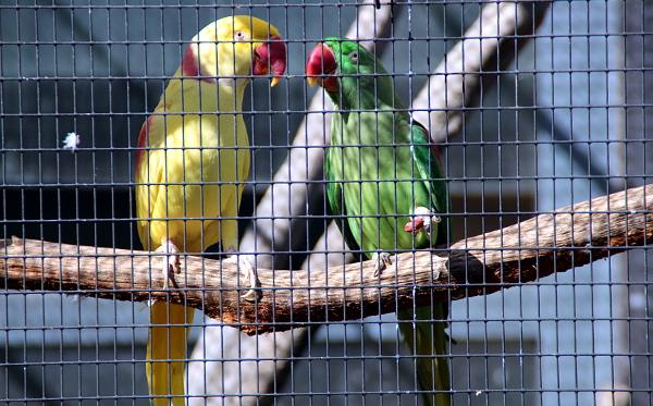 Alexandr velký mutace lutino s přírodně zbarveným ptákem (Foto: Jan Potůček, Ararauna.cz)