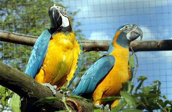 Porovnání velmi podobného ary ararauny (vlevo) a arou kanindou (Foto: Zoo Ústí nad Labem)