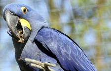 Zoo Ústí nad Labem vystavuje zabavené ary hyacintové, propadli státu. Má i aru zeleného