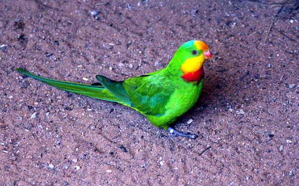 Papoušek nádherný ve veřejné expozici plzeňské zoologické zahrady (Foto: Jan Potůček, Ararauna.cz)
