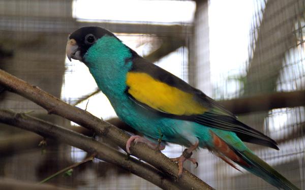 Australské papoušky v kolekci Zoo Plzeň zastupuje i papoušek žlutokřídlý (Foto: Jan Potůček, Ararauna.cz)