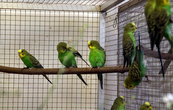 Přírodní andulky v Plzni odchovávají mladé, mají jich ale výrazně méně než běžní domestikovaní ptáci (Foto: Jan Potůček, Ararauna.cz)