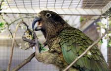 Nestory kea v Česku odchovávají již dva soukromí chovatelé a jedna zoo