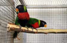 Příběhy ohrožených papoušků z Červené knihy IUCN 2020: lori sumbawský