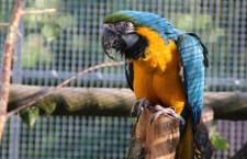 Jiné zoologické zahrady se arů araraun zbavují, v Jihlavě si je pořídili jako novinku