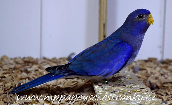 Neoféma modrohlavá mládě modrý 1F fialový (Foto: Martin Papač)