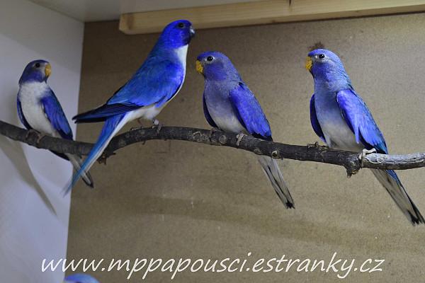Otec modrý fialový a jeho odchov modrých fialových neofém modrohlavých (Foto: Martin Papač)