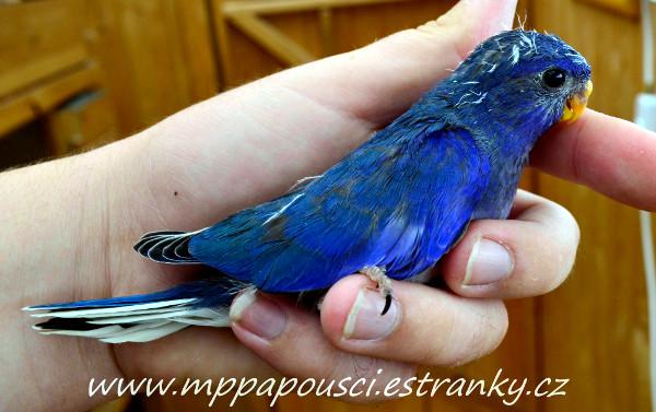 Neoféma modrohlavá mládě modrá 2F fialová (Foto: Martin Papač)