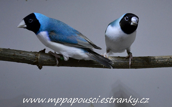 1,1 amadina goudlové - modrá černohlavá běloprsá (Foto: Martin Papač)