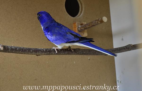 Neoféma modrohlavá 1,0 modrý 2F fialový (Foto: Martin Papač)