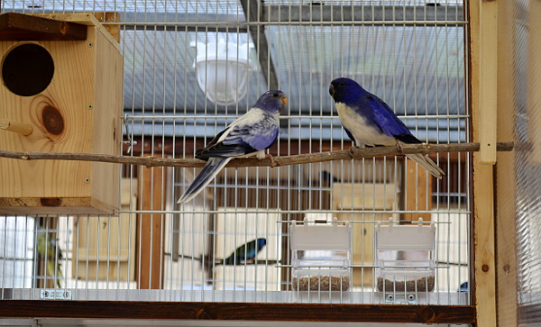 Neoféma modrohlavá 1,0 modrý 2F fialový a modrý 2F fialový opalín (Foto: Martin Papač)