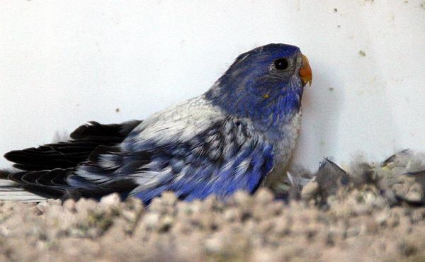 Neoféma modrohlavá mládě modrý 2F fialový opalín - odchov od páru výše (Foto: Jan Potůček, Ararauna.cz)