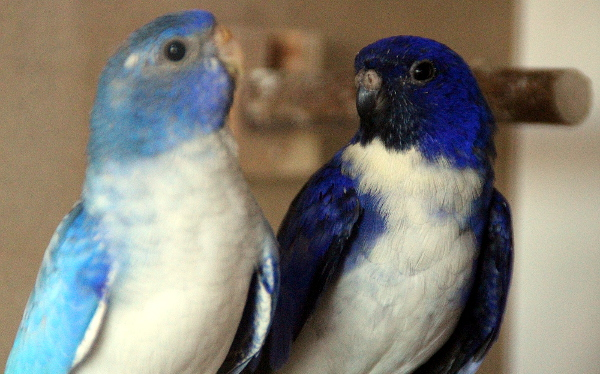 Neoféma modrohlavá Modrý 2F fialový a modrá 1F fialová opalín - detail chovného páru (Foto: Jan Potůček, Ararauna.cz)