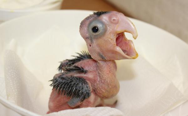 Mláďata kakadu palmových vypadají velmi bizarně (Foto: Antonín Vaidl, Zoo Praha)