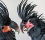Pražská zoo se pochlubila odchovy dvou mláďat kakaduů palmových