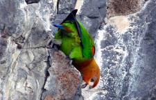 Zajímavé chování amazónků rezavolících ve volné přírodě: olizují soli ze skalních stěn