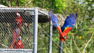 Ara arakanga vypouštěná v mexickém parku