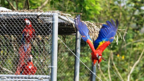 Mexiko slaví úspěch s návratem arů arakang do volné přírody. První vypuštění ptáci už zahnízdili