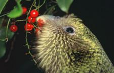 10 000 let příbuzenského křížení kakapům sovím neublížilo, zjistili vědci podrobným rozborem genomů
