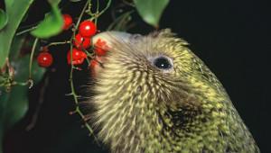 Kakapo soví pojídá plody Rimu