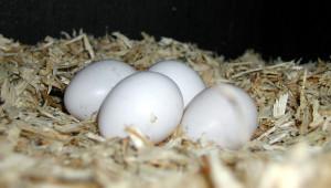 Papouščí vejce