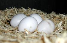 Navrtávání vajíček v líhni: zajímavý způsob, jak zachránit mláďata papoušků před udušením