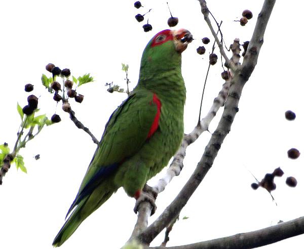 Amazoňan nádherný pojídá plody zederachu hladkého (Foto: Projeto Charão)