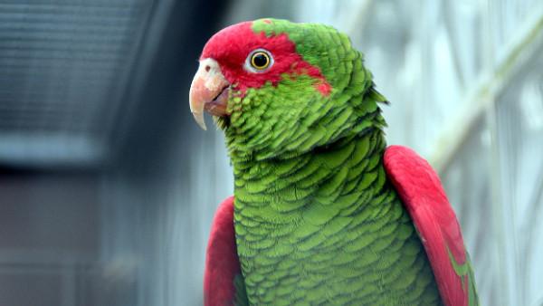 Amazoňané nádherní překvapili vědce, pojídají plody zederachu. Pro lidi jsou toxické