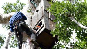 Ara arakanga - Tambopata Macaw Project