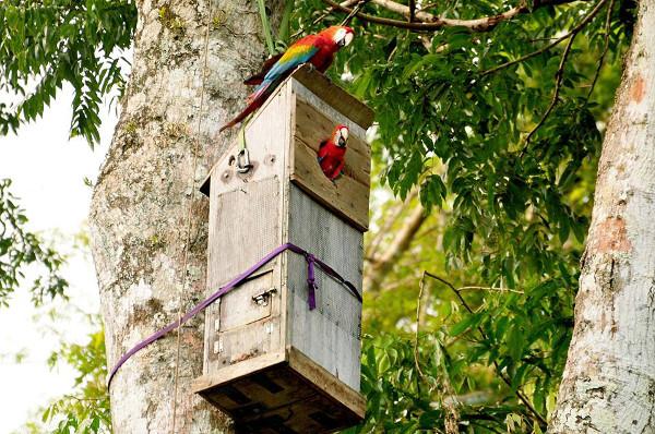 Tambopata Macaw Project sleduje ary hnízdící v umělých budkách, ale i přirozených hnízdních dutinách (Foto: Tambopata Research Center)