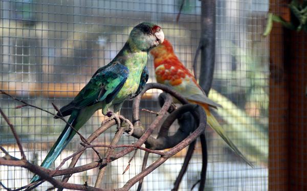 Barnard zelený a mutační papoušek zpěvavý (Foto: Jan Potůček, Ararauna.cz)