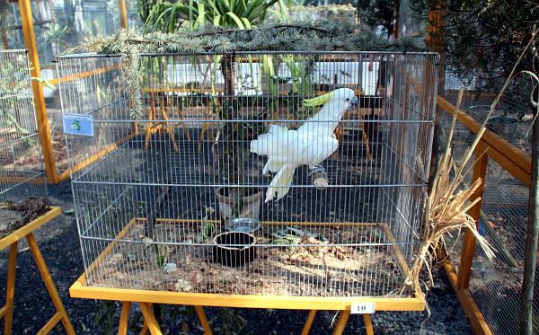 Také kakadu žlutočečelatý patří obecně prospěšné společnosti Laguna (Foto: Jan Potůček, Ararauna.cz)