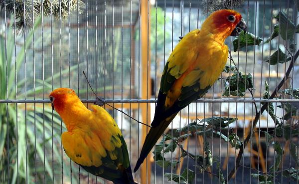 Mezi nejpestřeji zbarvené papoušky na výstavě patří aratinga sluneční (Foto: Jan Potůček, Ararauna.cz)