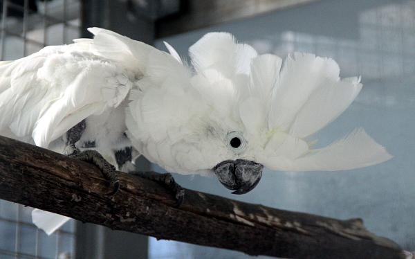 Jako první návštěvníky uvítají kakaduové bílí z projektu Laguna, který se stará o nechtěné a hendikepované papoušky (Foto: Jan Potůček, Ararauna.cz)