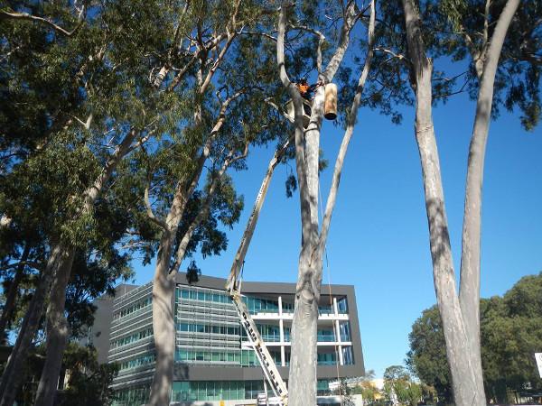Instalance umělé hnízdní dutiny pro černé kakaduy v centru města Armadale (Foto: Armadale.wa.gov.au)